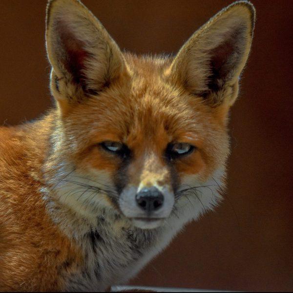 site de rencontre de renard femelle sur moi datant profil